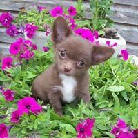 Pin By Anna Linz On Chihuahuas Chihuahua Puppies Cute Chihuahua