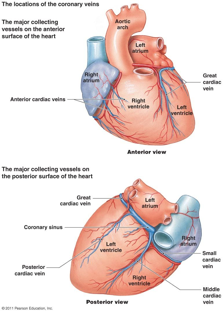 Heart Coronary Artery System Diagram Blood Supply To The Heart