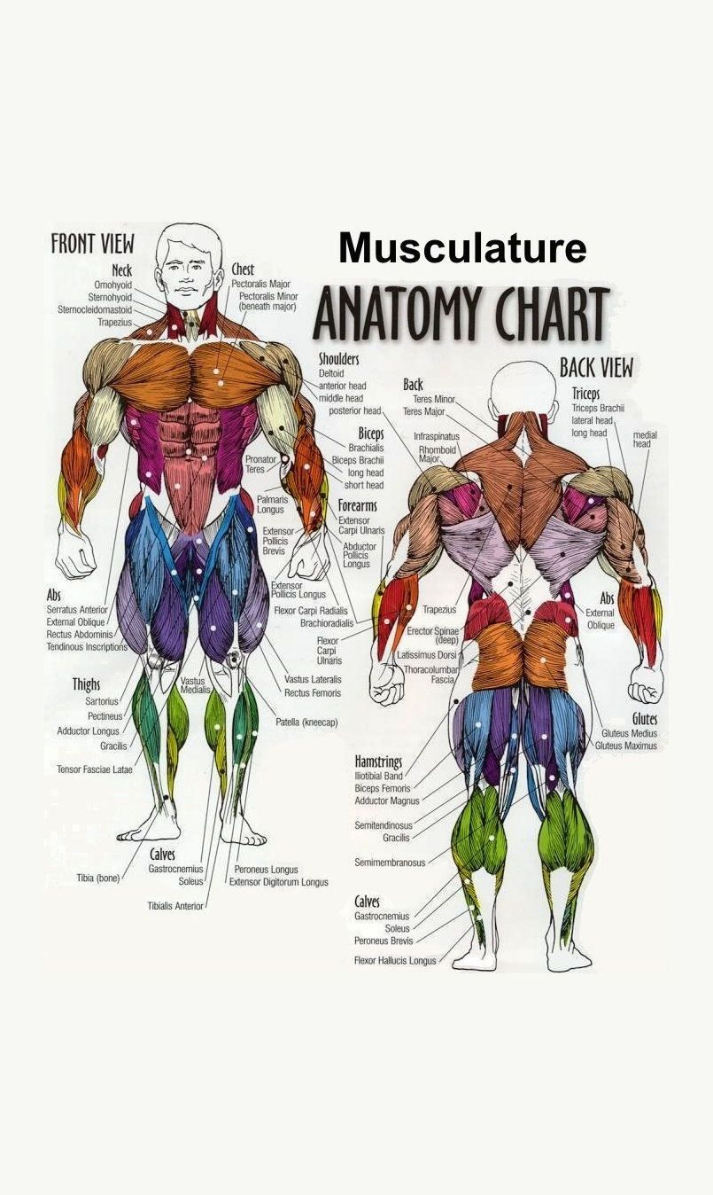 Framed Print Musculature Anatomy Chart Of The Human Body Picture