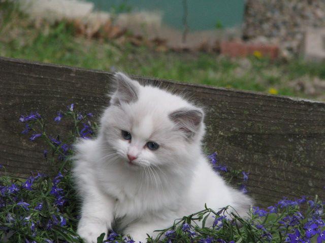 lincoln riversyde kittens ne cattery