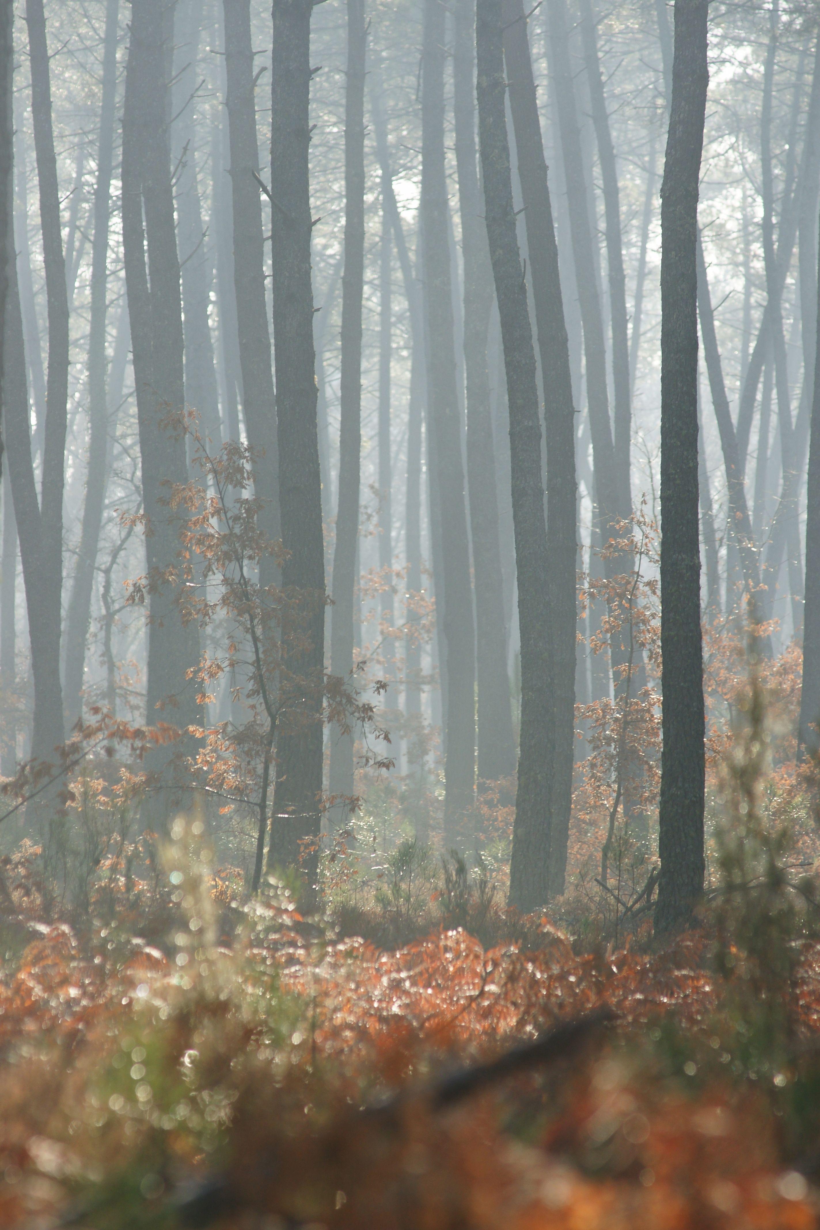 un petit coin de la for t des landes de gascogne sous le brouillard ecotourisme les landes. Black Bedroom Furniture Sets. Home Design Ideas