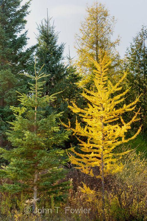 Tamarack Trees Larix Laricina Eastern Larch In Late