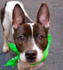 SUPER URGENT 04/18/16 Manhattan Center FIGURO – A1070554  MALE, BLACK / WHITE, RAT TERRIER MIX, 7 mos STRAY – STRAY WAIT, NO HOLD Reason STRAY Intake condition UNSPECIFIE Intake Date 04/16/2016, From NY 10029, DueOut Date 04/19/2016,