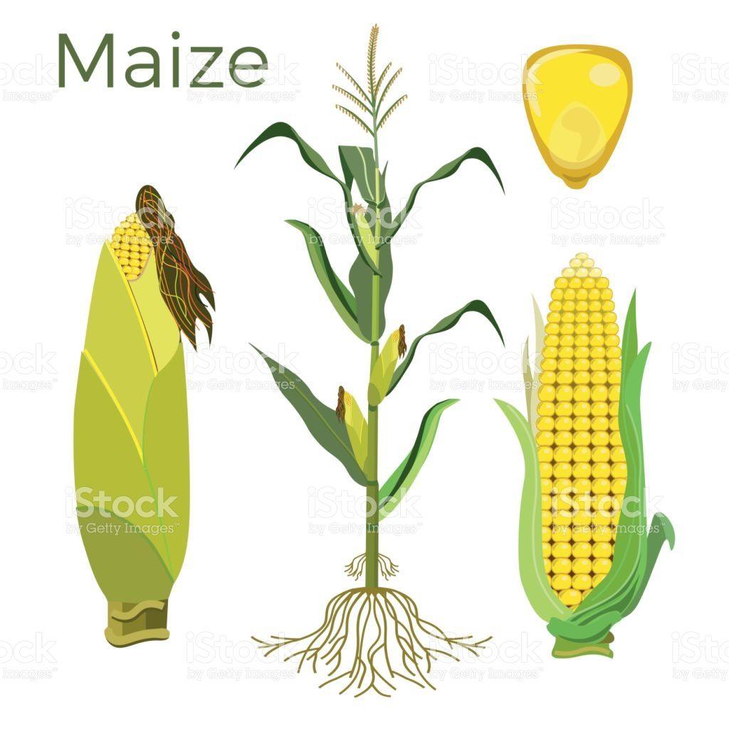 Set of maize plant. Vector illustration Maize plant