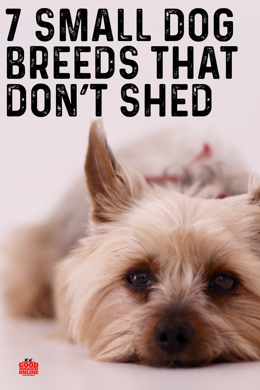 7 Adorable Non Shedding Small Dogs Small Dog Breeds In 2020 Small Dog Breeds Dog Breeds That Dont Shed Dog Breeds