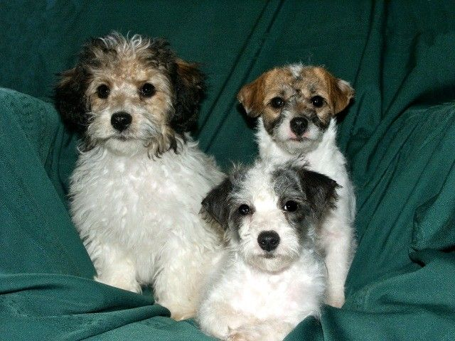 Jack Russell Terrier Poodle Cross Also Called Jack A Poo