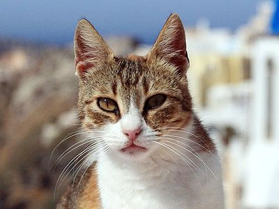 Aegean Cat Breed Information Pictures Kitten Price Cat Breeds All Cat Breeds Rare Cats