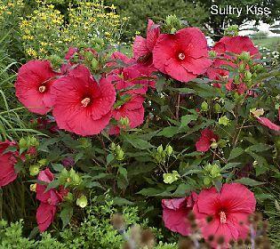 Cottage Farms 3 Pc Tropical Paradise Hardy Hibiscus Qvc Com Hardy Hibiscus Hibiscus Tropical Paradise