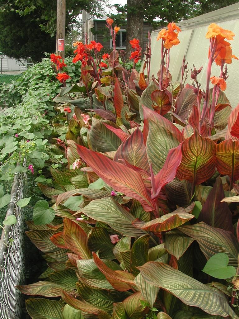 Canna \'Tropicana\' Cool foliage with exciting flowers | Cannas Cannas ...