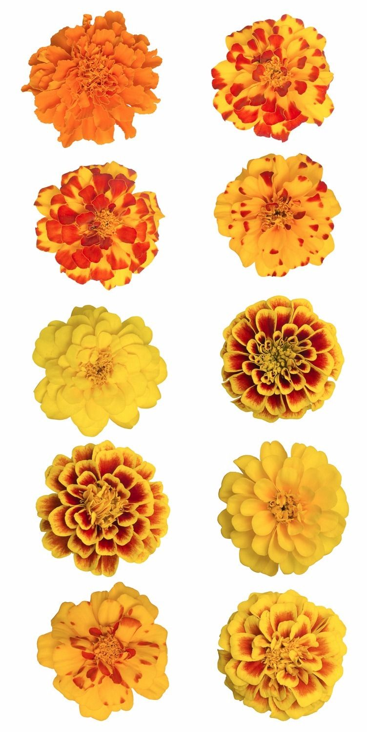 Wedding Flowers Marigold Birthday Month October Colors Yellow