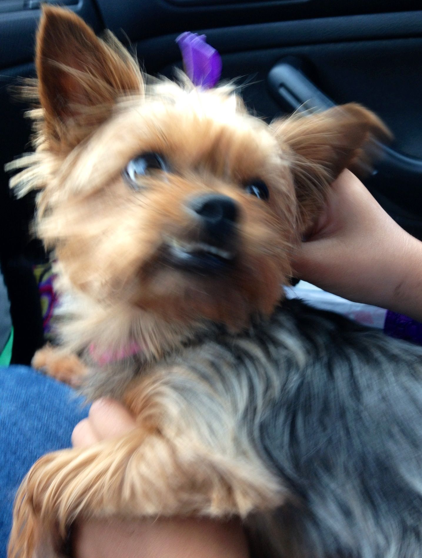 Ms princess Daisy Mae!!! Our adorable spoiled yorkie