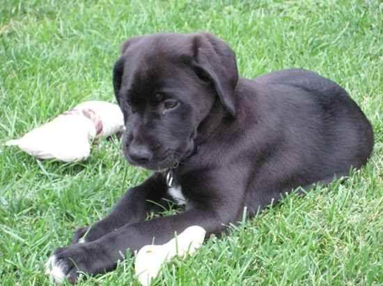 Mastador 1 2 Lab Retriever 1 2 Mastiff Mastador Dog Puppies