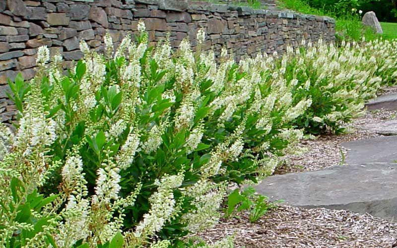 Summersweet clethra alnifolia native woodland shrub for Small flowering shrubs for full sun