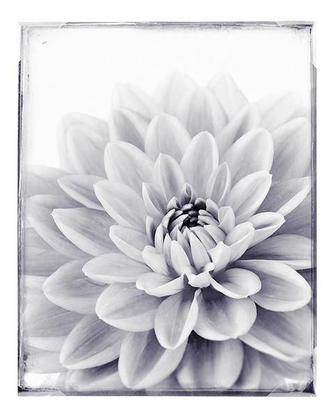 Black and white dahlia flower photography print