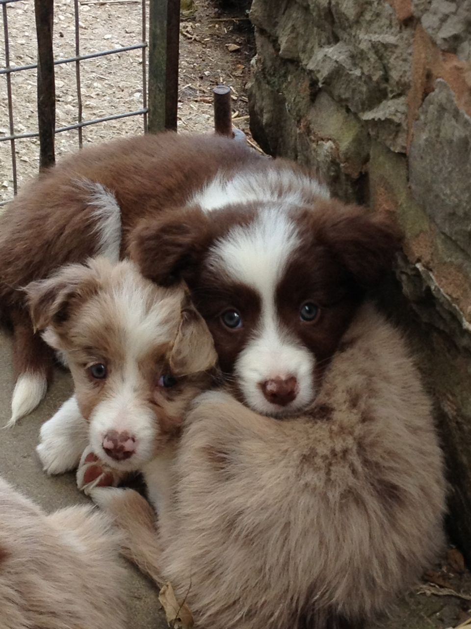 Red Merle Puppies Border Collie Puppies Border Collie Collie