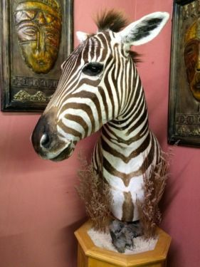 Taxidermy Zebra  $2200  Dealer #2020  Lucas Street Antiques Mall 2023 Lucas Dr.  Dallas, TX 75219  Located close to Dallas' Design District within walking distance of the World Trade Center