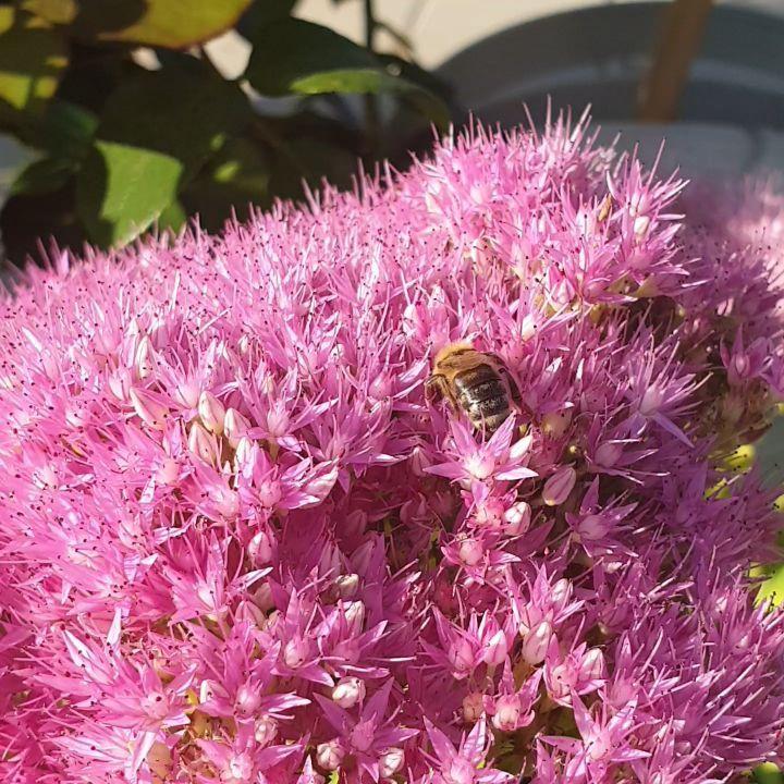 🌿 Fette Henne 🌿 wird geliebt von allen Bienen. ♡ • • • • • •