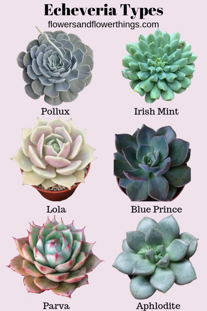 40 Echeveria Types & Care (with pictures)  is part of Succulent garden diy, Types of succulents plants, Succulents, Plants, Succulents wallpaper, Echeveria - Echeveria types and varieties can sometimes be confused because they are so many  Echeveria types can have some similarities but can also vary significantly