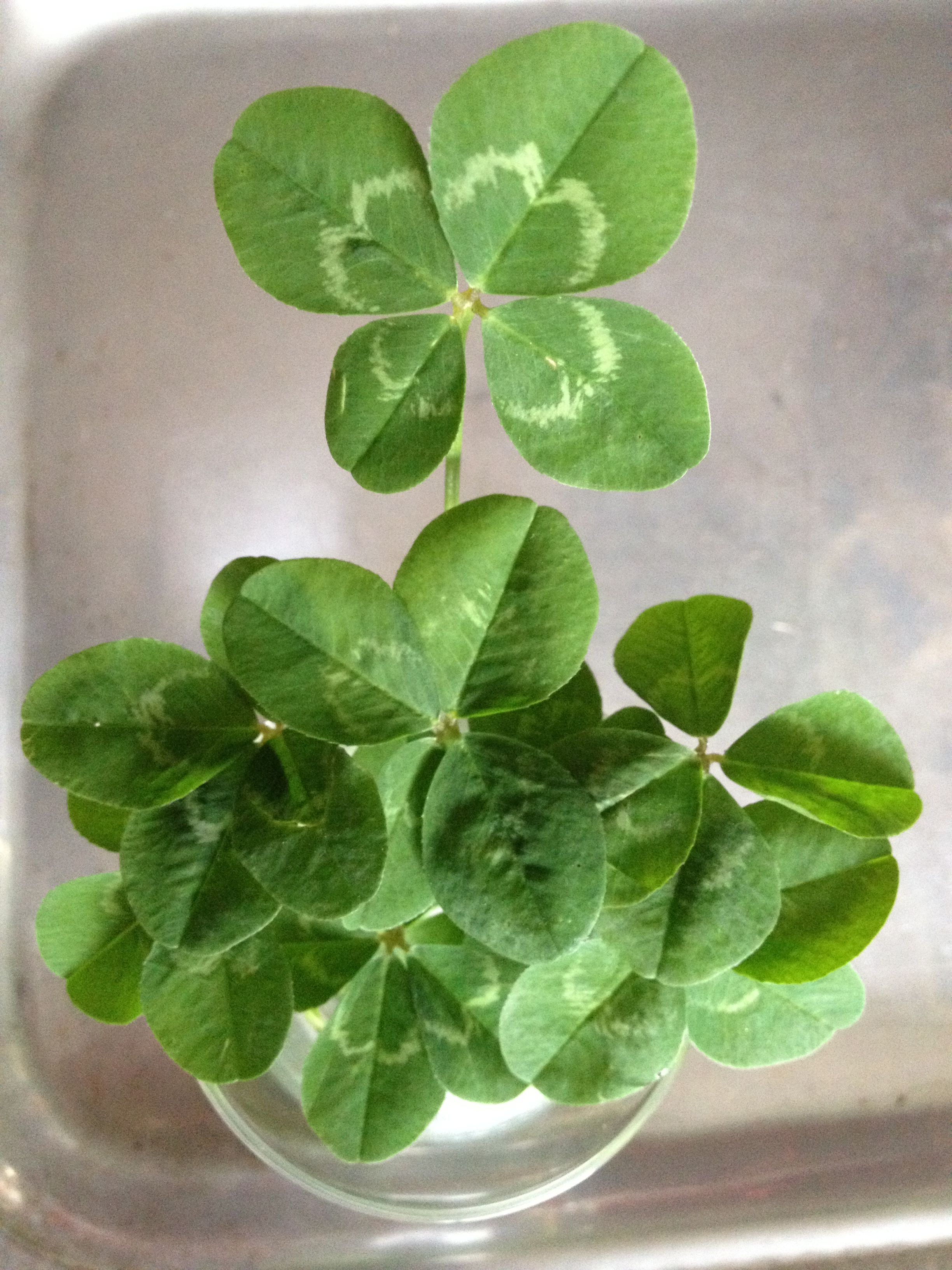 4 leaf clover bouquet lucky signs u0026 symbols pinterest