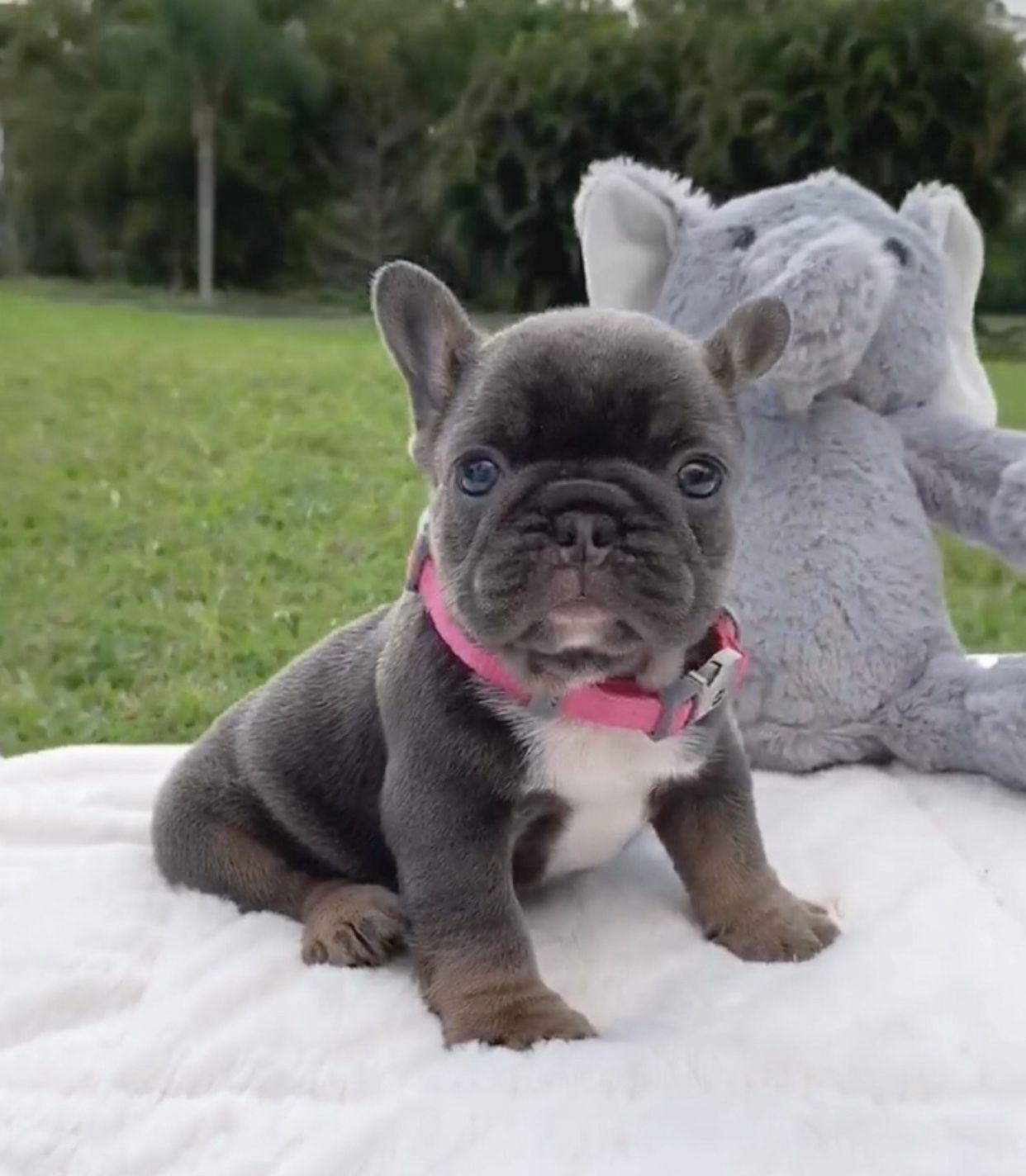 Little Pretty Face Heidi Www Poeticfrenchbulldogs Com