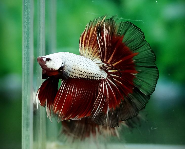 show quality betta fish archived auction