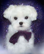 Carboncopy Maltese Alberta Teacup Puppies Maltese Maltese Puppy