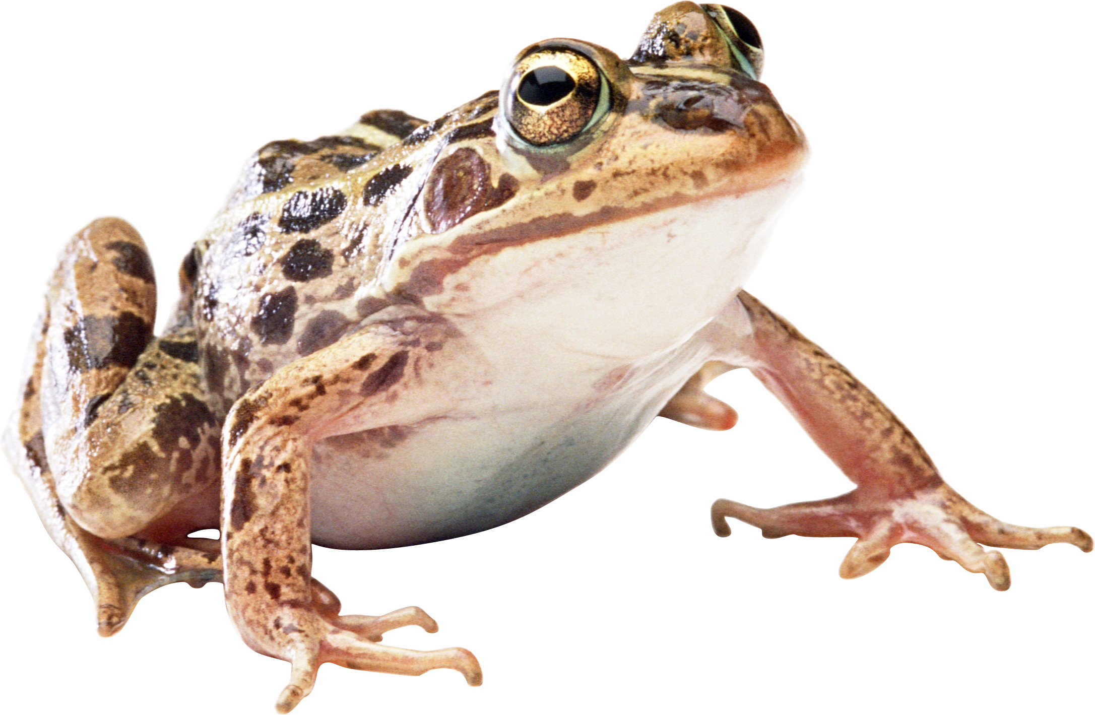 Download Png Image Frog Png Image Frog Animals Images Frog Pictures