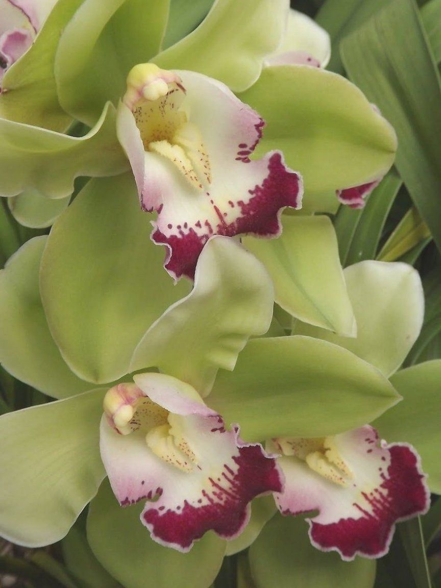 Cymbidium My Orchids Journal Cymbidium Orchid Cymbiflor Montage X Valley Zenith In 2020 Cymbidium Orchids Orchids Montage