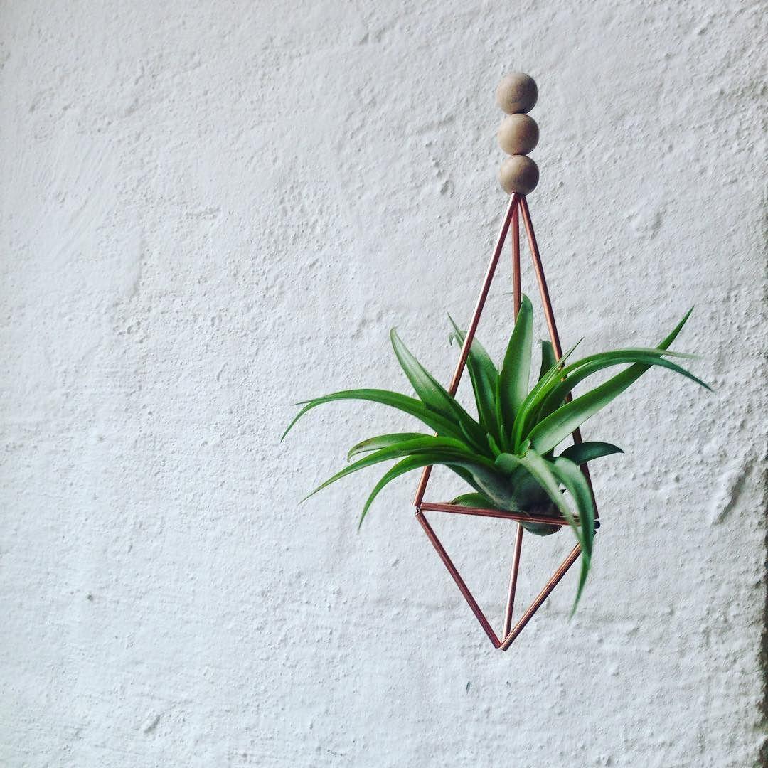Luftpflanzen Berlin himmeli copper brachicaulos#tillherbacaeli #airplants #tillandsia