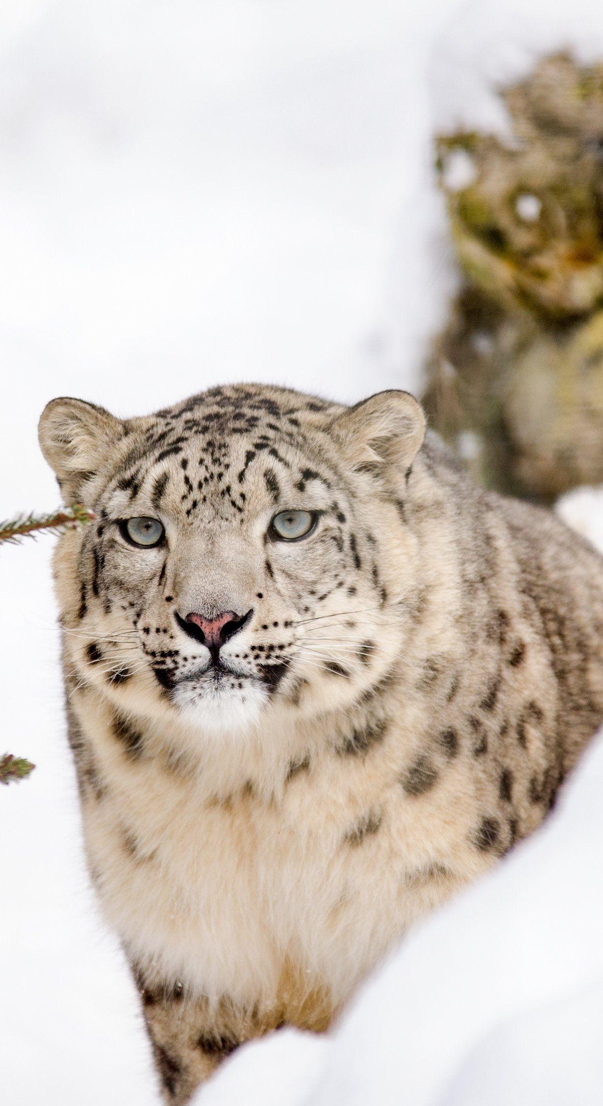 Snow Leopard Big Cat Hayvanlar alemi ve Hayvanlar