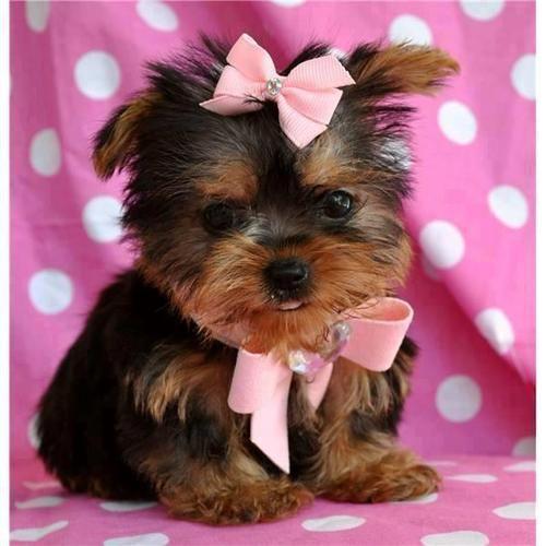 Want Soooo Bad Teacup Yorkie Puppy Teacup Yorkie Yorkie Puppy