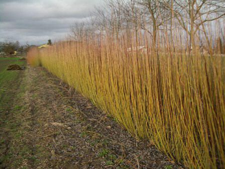 Just ordered Basket Willow in several colors. Expanding the garden.