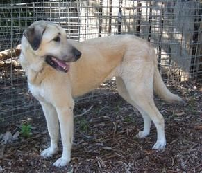 Adopt California Duchess On Anatolian Shepherd Dog Anatolian Shepherd East Bay Area
