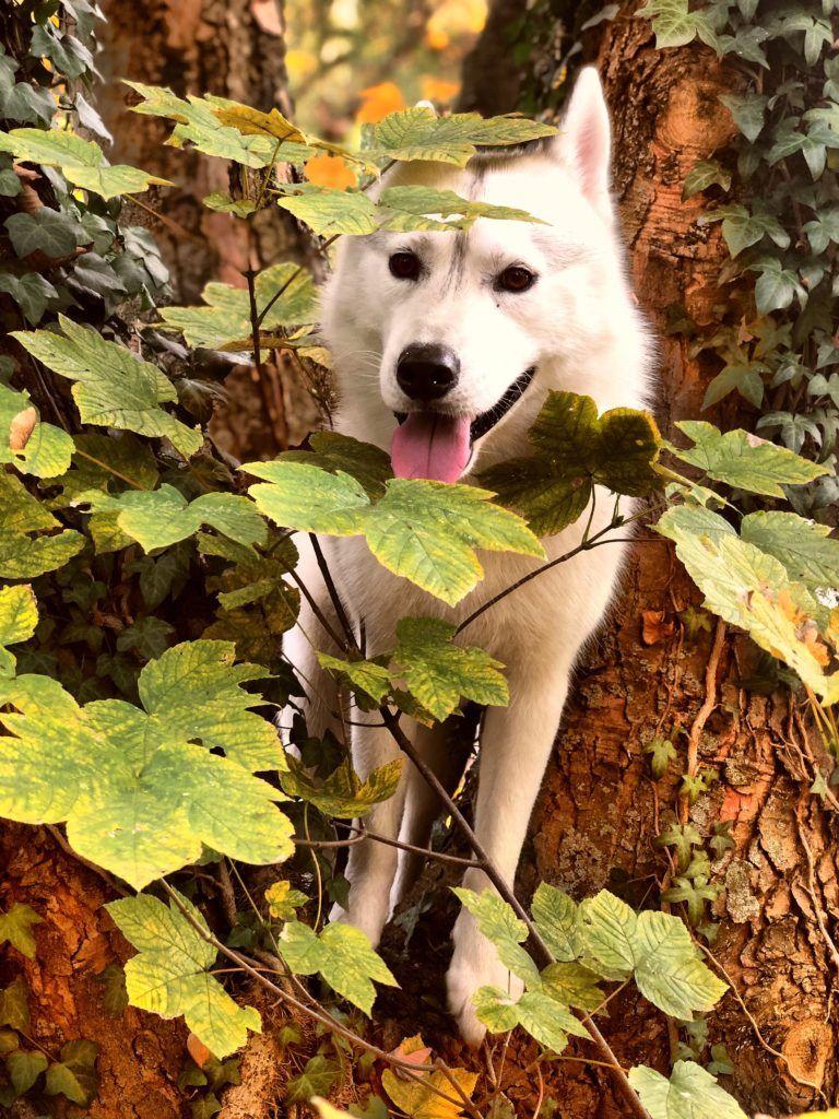 So Rennt Dein Hund Nicht Zu Anderen Undercover Labrador Hunde Labrador Hund Hunde Erziehen