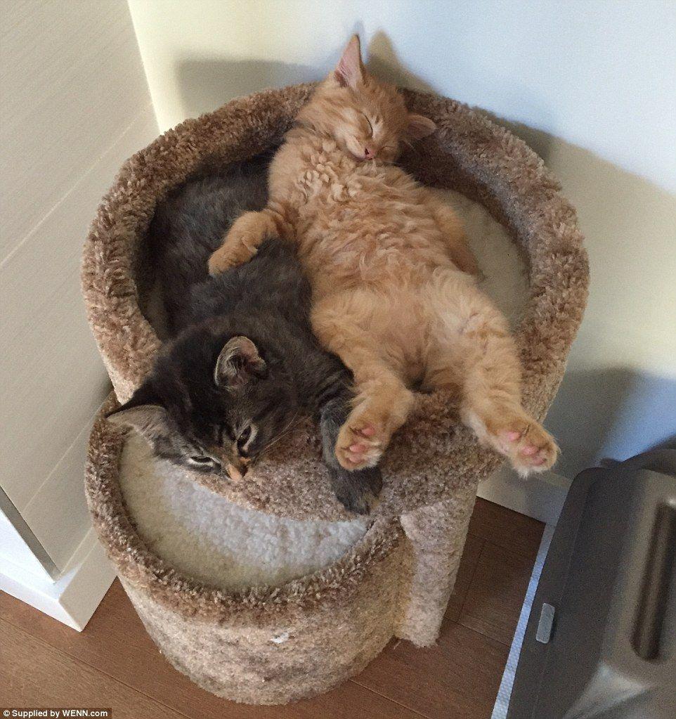 Cat Friends Renley And Lili Share Kitten Bed Despite Outgrowing It Cute Cats Kitten Beds Cat Sleeping