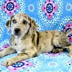Morton Grove, IL - Labrador Retriever. Meet Danish a Pet for Adoption. #mortongrove