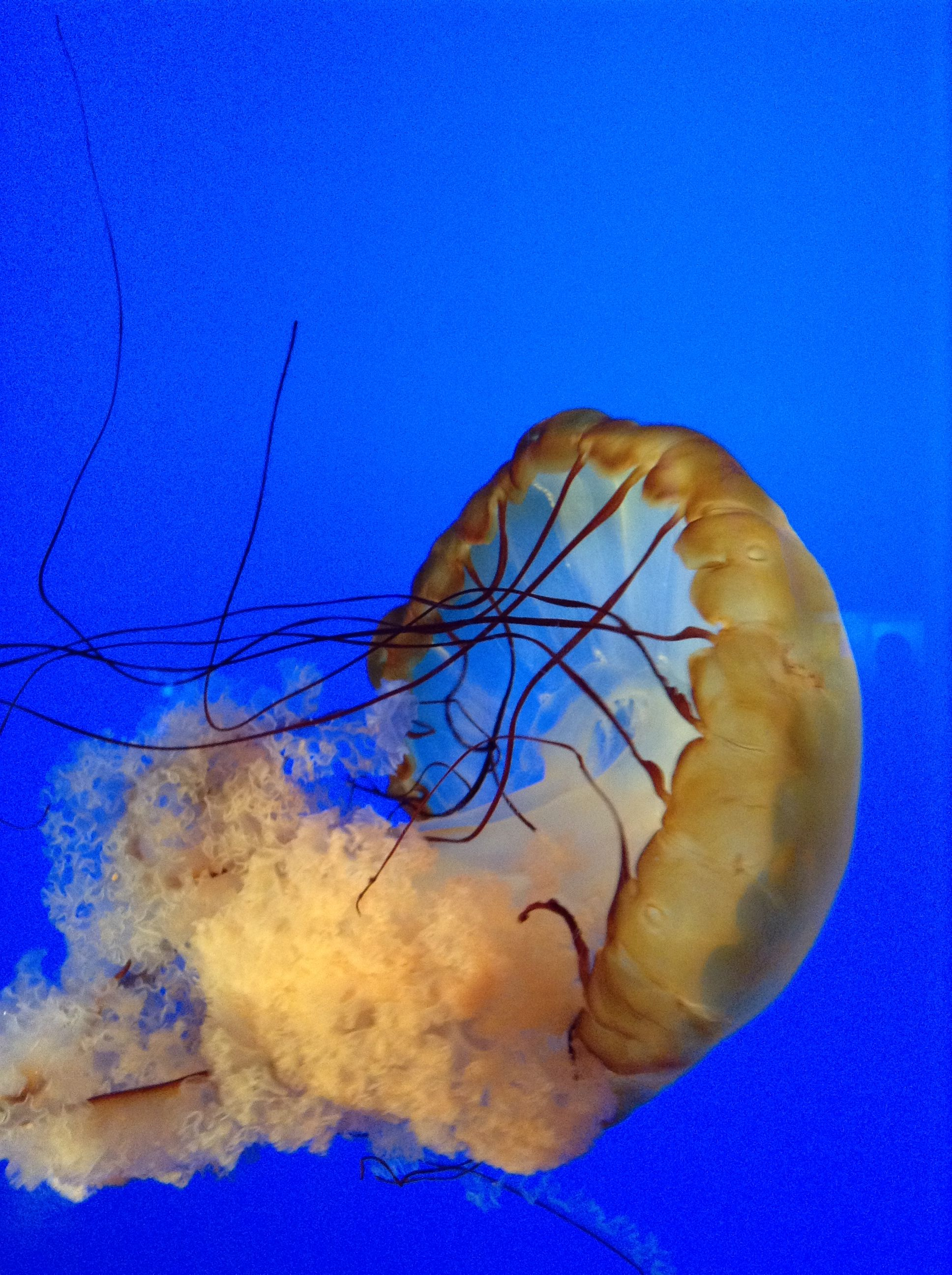 Awesome jelly fish Sea creatures, Creatures, Jellyfish