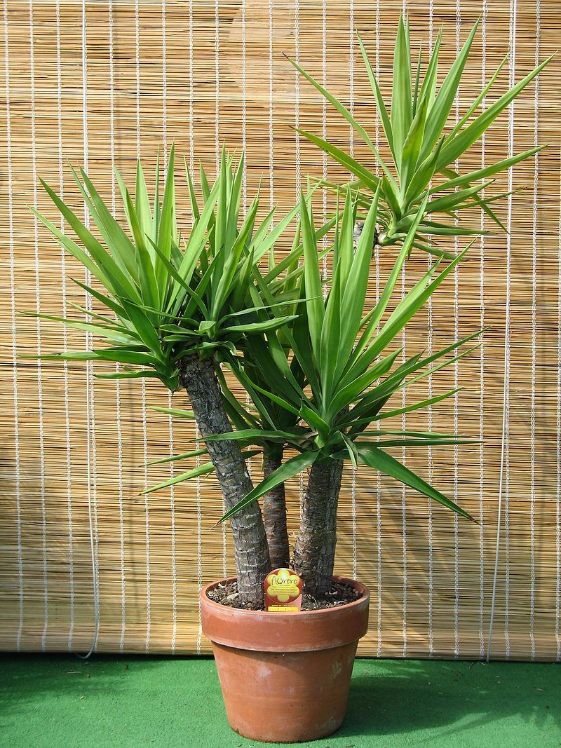 Propagate HousePlants: A Yucca Is Propagated By Stem (trunk) Cuttings And  Offsets. Yucca Plant IndoorIndoor GardenYucca ...