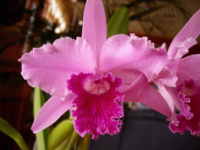 Laelia Lobata Alba Orchideen Pflanzen Umtopfen Orchideenpflanzen