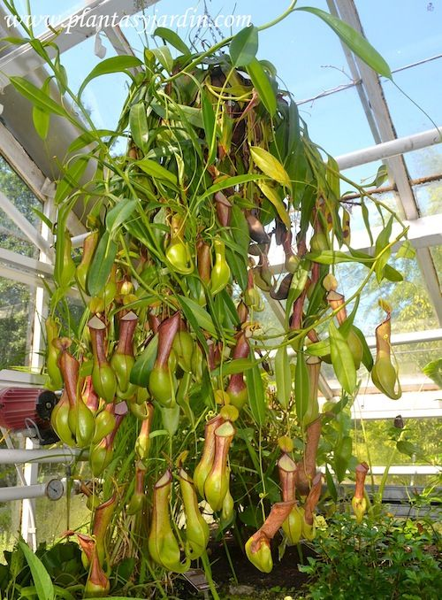 nepentes cultivada en invernadero