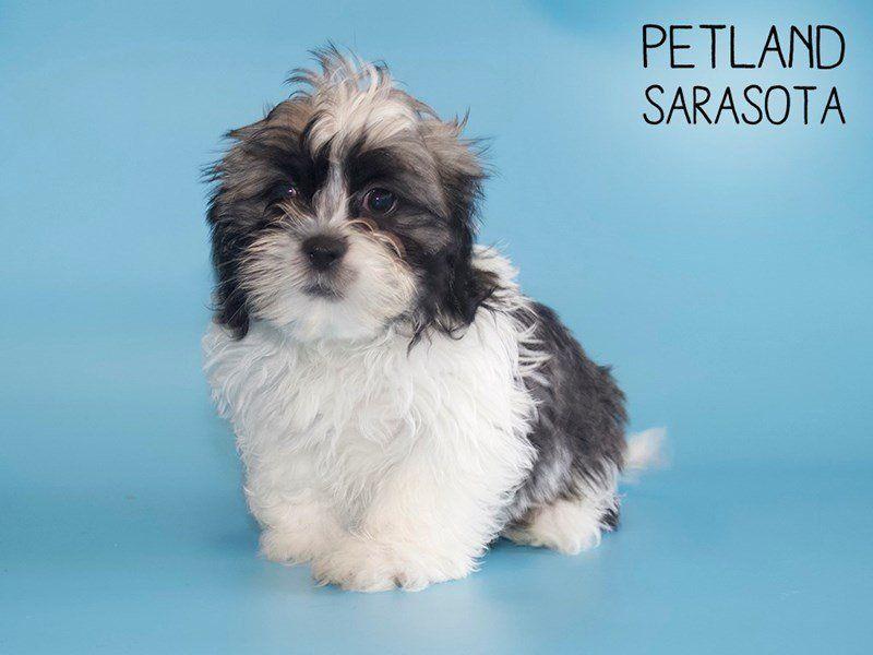 Teddy Bear Puppies For Sale Sarasota Fl 2021