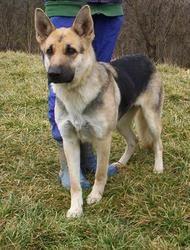 Teata Is An Adoptable German Shepherd Dog In Cincinnati Ohio