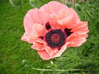 That Bloomin' Garden: Poppy Love