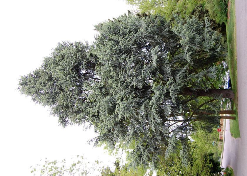 Full size picture of Atlas Cedar 'Fastigiata' (Cedrus atlantica)
