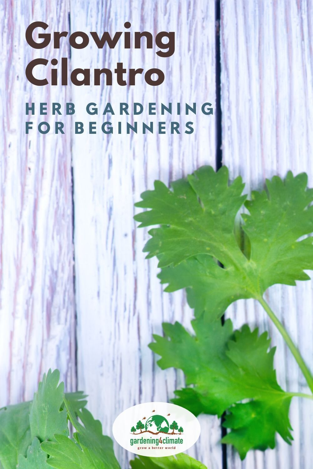 Growing cilantro how to grow cilantro for beginners