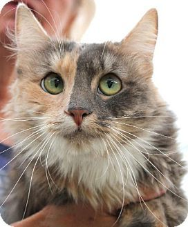 Lida Rose Young Medium Haired Calico Dilute Calico Female