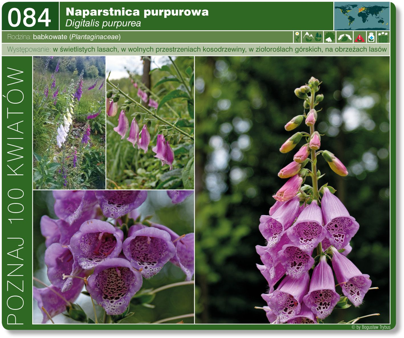 Naparstnica Purpurowa Plants