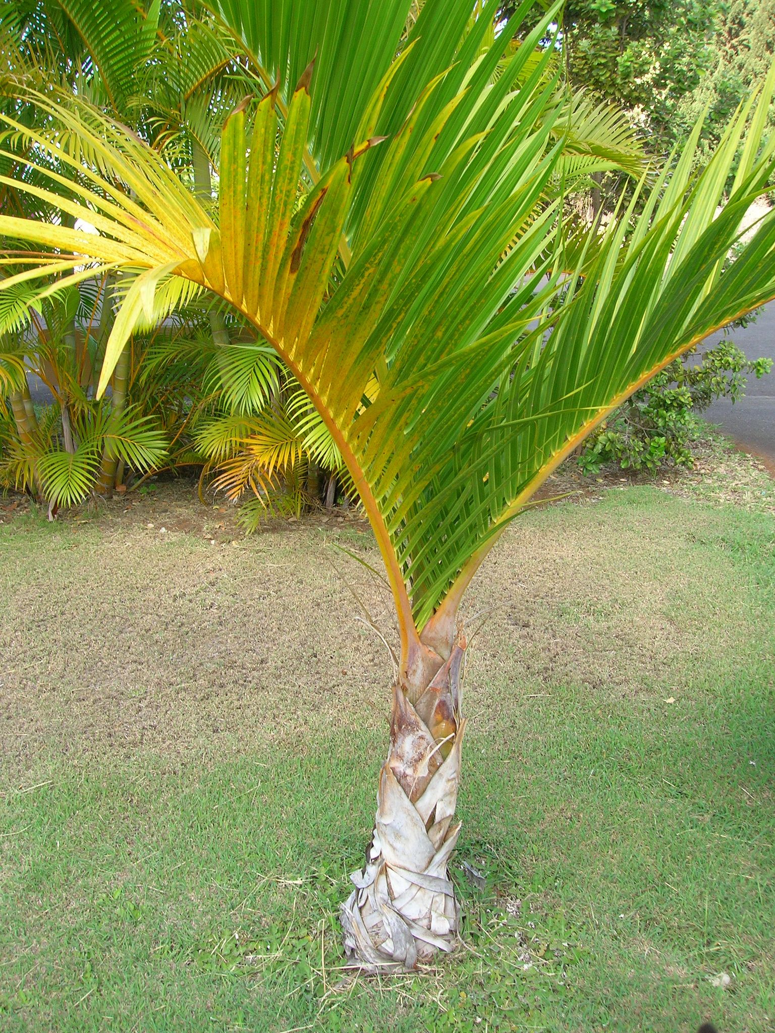 Growing Spindle Palm Trees How To Care For A Spindle Palm Palm Tree Care Palm Trees Landscaping Palm Plant