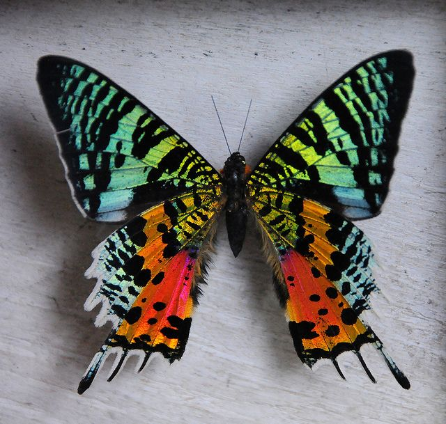 Peruvian Butterfly (?) by john a d willis, via Flickr