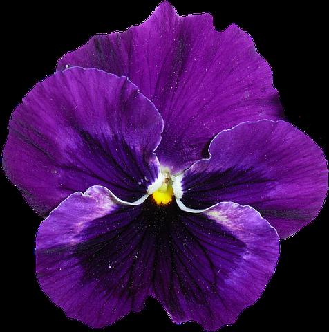 Pansy Blue Purple Blossom Bloom Flower Background Wallpaper Pansies Flowers Pansies